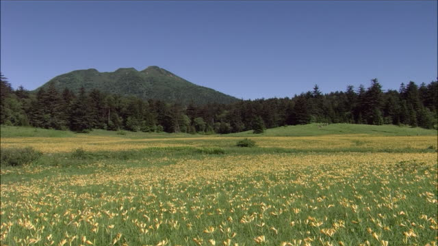 Field of flowers with forest and mountain in background, Oze Marsh, Gunma