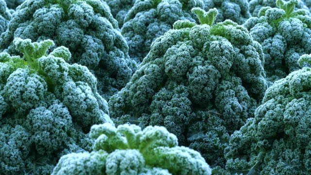 field of frosted kale,  extends the taste. horizontal slider shot - calendar date stock videos & royalty-free footage