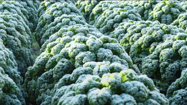 field of frosted kale,  extends the taste. horizontal slider shot - frozen video stock e b–roll