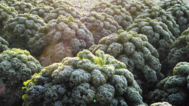 field of frosted kale,  extends the taste. - frost stock videos & royalty-free footage