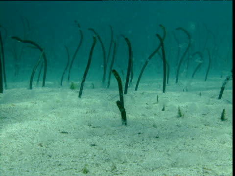 Garden Eel Videos and B-Roll Footage | Getty Images
