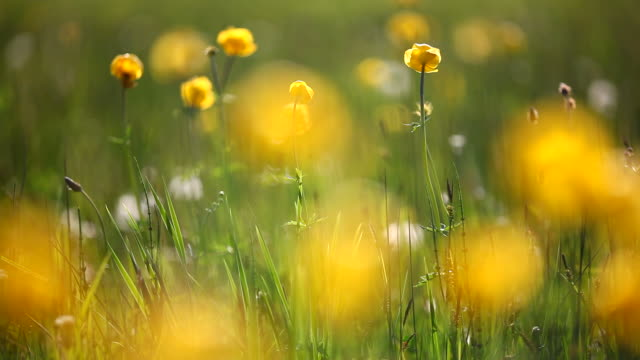 field of globe flowers on a summer meadow, bavaria, germany - yellow stock videos & royalty-free footage