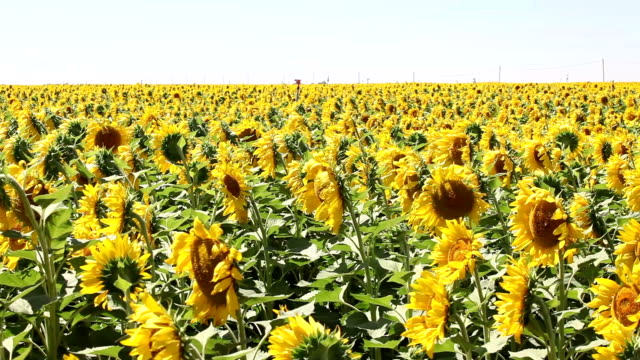 Field Of Golden Sunflowers