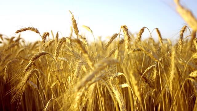 フィールドの黄金の小麦 - 穀物 ライムギ点の映像素材/bロール