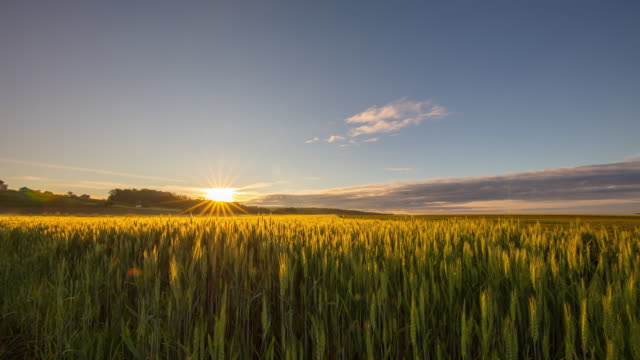 t/l field of green wheat at sunrise - may stock videos & royalty-free footage