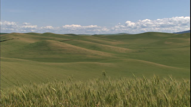 a field of green wheat ripens in palouse, washington. - palouse stock videos & royalty-free footage