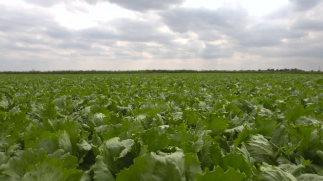 field of iceberg lettuces on farm, uk - botany stock videos & royalty-free footage