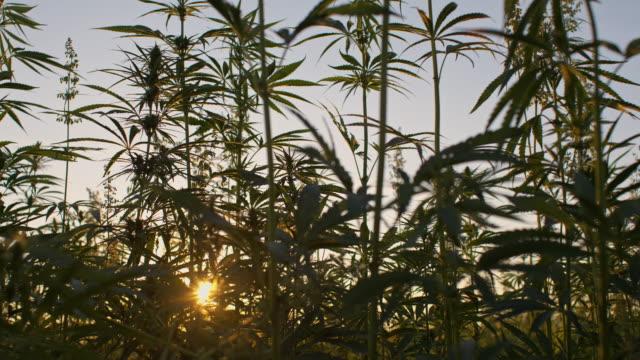 vídeos de stock e filmes b-roll de slo mo campo de industrial canábis ao amanhecer - marijuana canábis herbácea