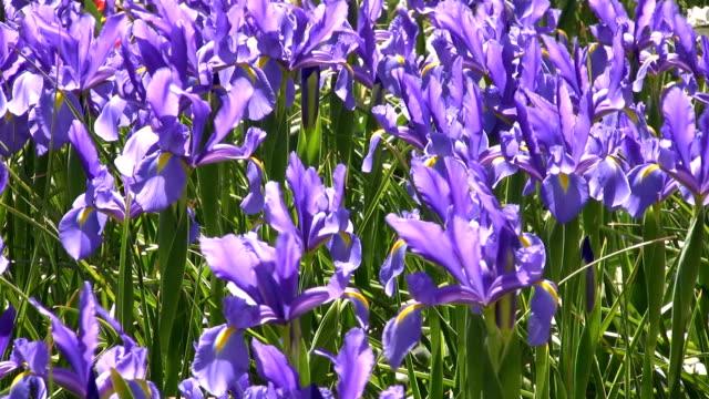field of irises - iris plant stock videos & royalty-free footage