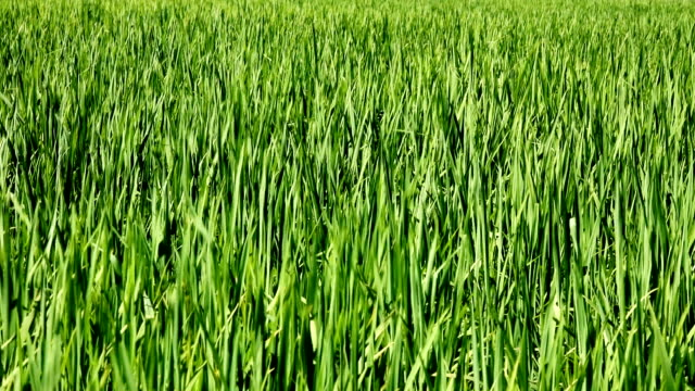 Field of juicy green grass on the wind