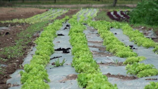 vídeos y material grabado en eventos de stock de ms field of lactuca sativa var. crispa, green salad bowl / serrig, rhineland-palatinate, germany - tierra cultivada