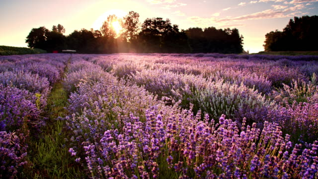 vídeos de stock e filmes b-roll de ds field of lavender at dusk - campo