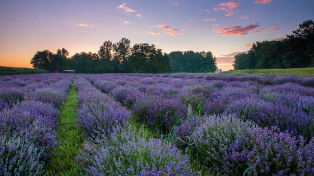 t/l 8k field of lavender at sunrise - lavender stock videos & royalty-free footage