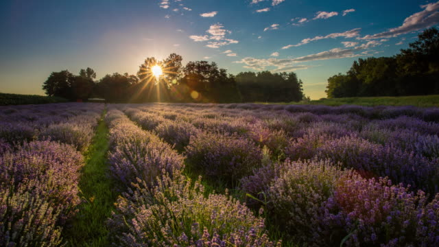 t/l 8k field of lavender flowers at sunrise - lavender stock videos & royalty-free footage