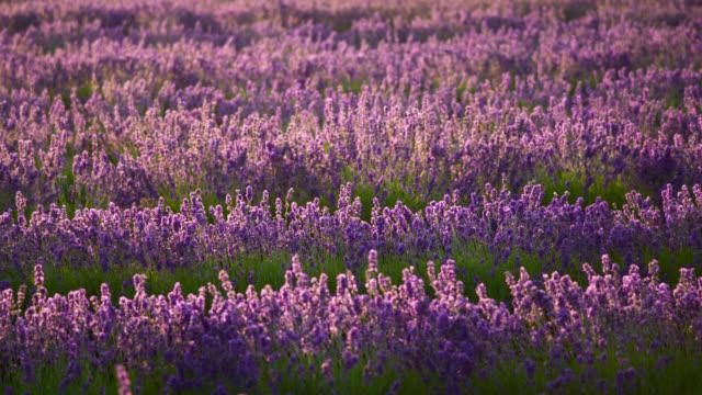 vídeos de stock e filmes b-roll de field of lavender, japan. - perfumado