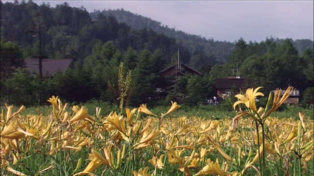 vídeos de stock e filmes b-roll de field of lilies in foreground with houses and woods in background, oze marsh, gunma, niigata - lírio