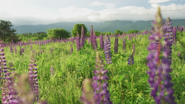 a field of lupine in the white mountains of new hampshire - wildflower stock videos & royalty-free footage