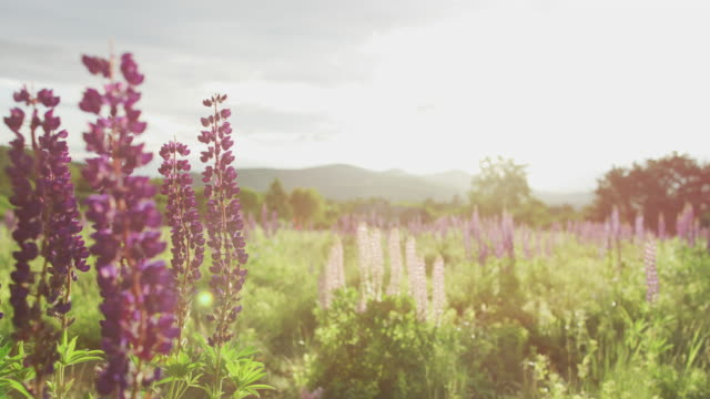 a field of lupine in the white mountains of new hampshire - vild blomma bildbanksvideor och videomaterial från bakom kulisserna