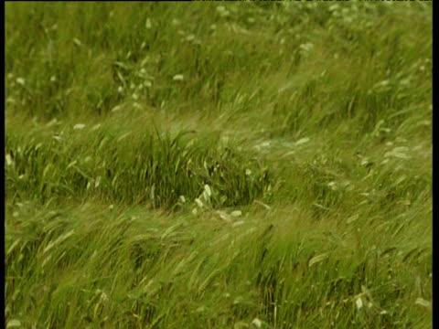 field of lush green barley crop swaying in field, uk - orzo video stock e b–roll