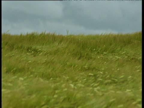field of lush green barley crop swaying in field, uk - swaying stock videos & royalty-free footage