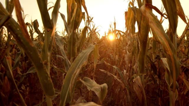 Field of maize. Corn field.