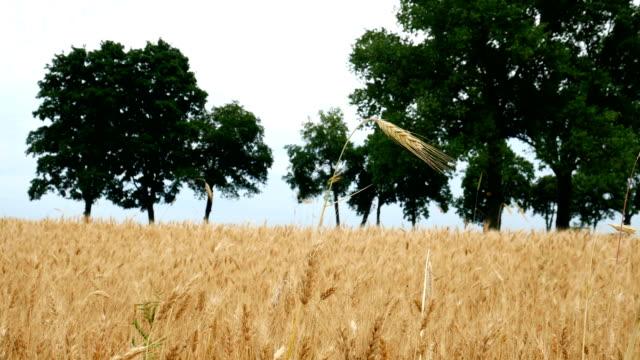 Champ de blé mûr. Riche récolte Concept.