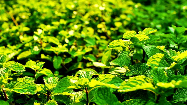 field of mint leafs - mint leaf culinary stock videos and b-roll footage