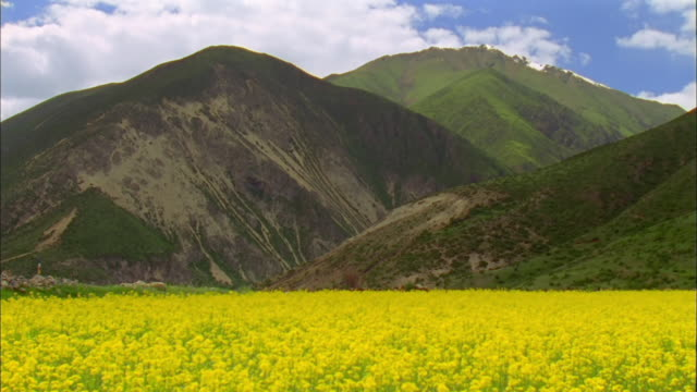 field of mustard at base of mountains, tibet available in hd. - mustard stock videos & royalty-free footage