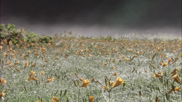 vídeos de stock e filmes b-roll de field of nikko kisuge (alpine day lilies) with mist in background, oze marsh, gunma, niigata - lírio