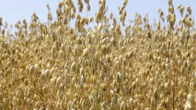 ms field of oat / mainburg, bavaria, germany - cereal plant stock videos & royalty-free footage