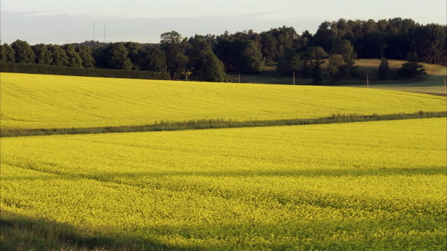 vidéos et rushes de a field of oilseed rape sweden. - crucifers