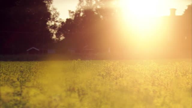 a field of oilseed rape sweden. - crucifers stock-videos und b-roll-filmmaterial