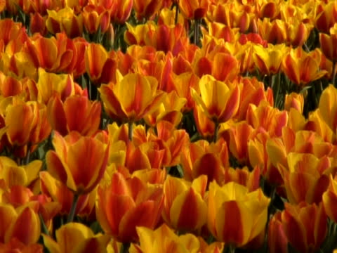 field of open orange and red tulips (tulipa sp.) waving in breeze, keukenhof, central holland - waving icon stock videos & royalty-free footage