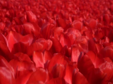 field of open red tulips (tulipa sp.) waving in breeze, keukenhof, central holland - waving icon stock videos & royalty-free footage
