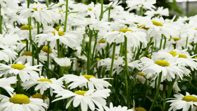 vidéos et rushes de field of ox eye daisies, japan. - marguerite