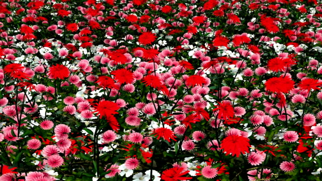 a field of pink, red and white flowers sway in a gentle breeze. - impressionism stock videos & royalty-free footage