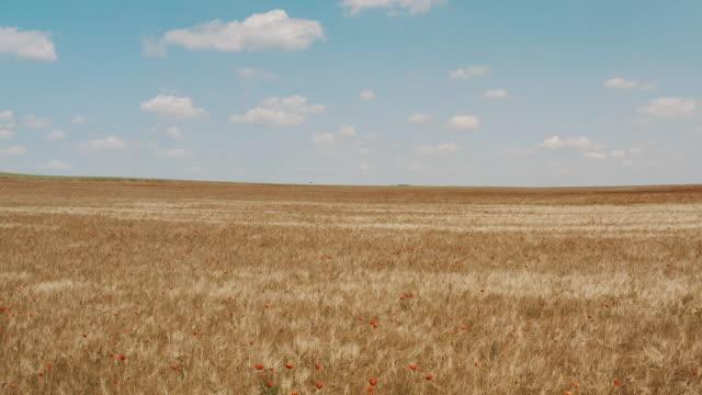 vidéos et rushes de champ de coquelicots et de céréales en été - prairie