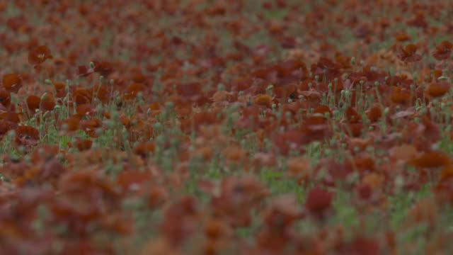 vídeos de stock e filmes b-roll de field of poppies, japan. - focagem difusa