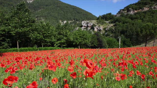 ws field of poppies swaying in breeze in gorges du tarn / languedoc-roussillon, france - alm stock-videos und b-roll-filmmaterial