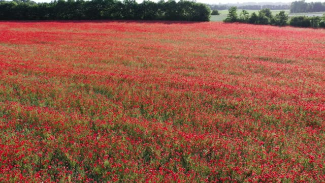 a field of poppies - remembrance day stock videos & royalty-free footage