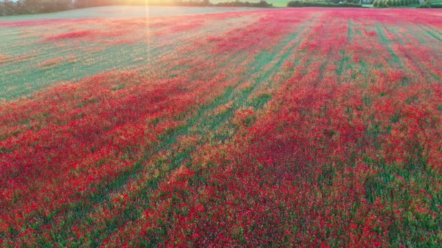 a field of poppies - world war one stock videos & royalty-free footage