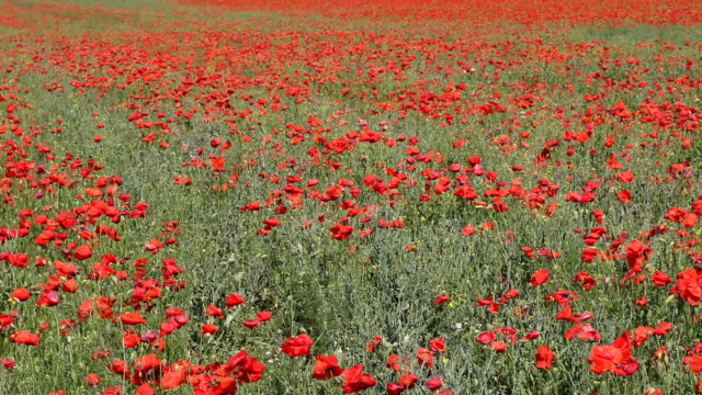 stockvideo's en b-roll-footage met field of poppies - wiese