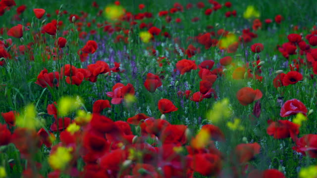 field of poppies - 40 seconds or greater stock videos & royalty-free footage