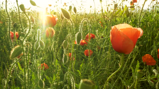 Field of poppy at sunset.