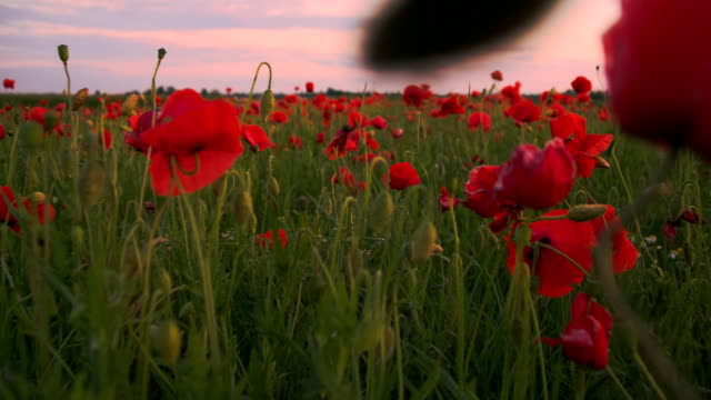 slo mo field of poppy flowers - poppy plant stock videos and b-roll footage