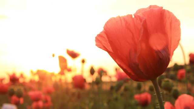 hd: field of poppy - single flower stock videos & royalty-free footage