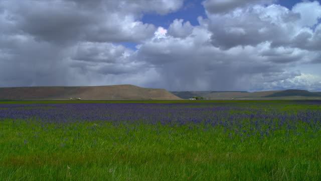 LONG WIDE PAN field of purple/blue flowers (lavender?) with hills in background, Eastern Oregon
