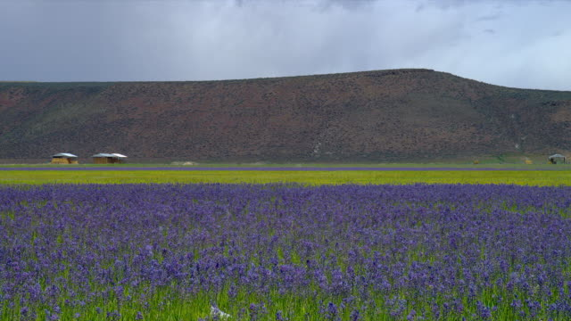 WIDE PAN field of purple/blue flowers (lavender?) with hills in background, Eastern Oregon