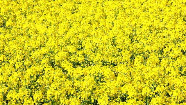 field of rapeseed - crucifers 個影片檔及 b 捲影像