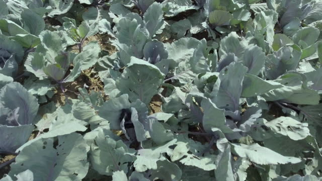 field of red cabbage in summer close-up flyover - red cabbage stock videos & royalty-free footage